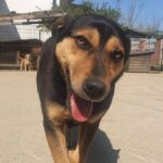 Gadehunden Bruno fra Bosniske Hunde
