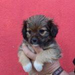 Gadehunden Petra fra Bosniske Hunde