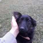 Gadehunden Sassy bliver kløet