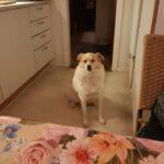 Gadehunden Wilfred sidder i et køkken