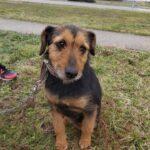 Gadehunden Sadie sidder på græs