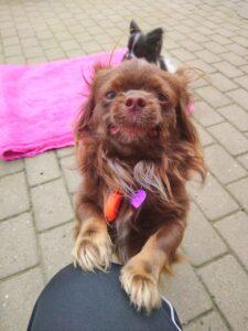 Gadehunden Spot fra Bosniske Hunde